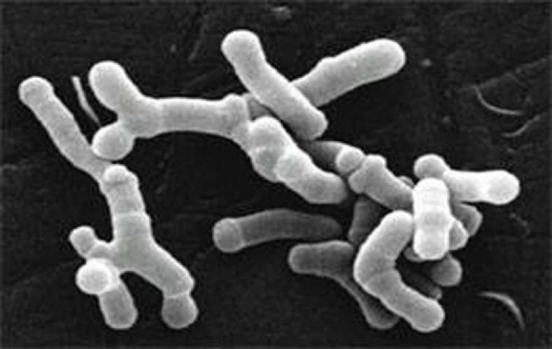 actinobacteria philatax